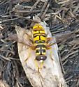 syrphid fly - Milesia virginiensis