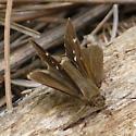 Twin-Spot Skipper - Oligoria maculata