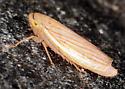 hopper - Athysanus argentarius
