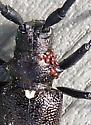 Parasites on long-horned wood-boring beetle? - Monochamus scutellatus