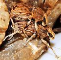Broad-nosed Weevil - Ophryastes tuberosus - male - female
