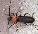 beetle - Podabrus flavicollis