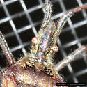 Signs of Autumn - Leptoglossus occidentalis