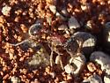 Ant - Pogonomyrmex rugosus