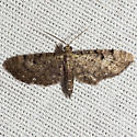 Common Eupithecia Moth - Hodges #7474 - Eupithecia miserulata