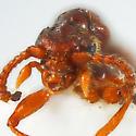 Pselaphine - Batrisodes lineaticollis