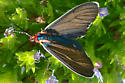 Ctenuch Multifaria Moth? - Ctenucha multifaria