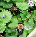 Unknown - Xylocopa virginica