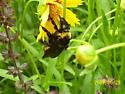 Is this my bimaculatus queen? - Bombus auricomus - female