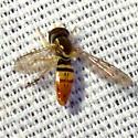 Syrphid Fly - Toxomerus marginatus