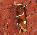 Moth to porch light - Promalactis suzukiella