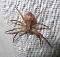 crab like spider - Philodromus