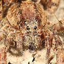 wolf spider - Gladicosa gulosa