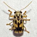 Beetle: 2012.05.22.24828 - Pachybrachis tridens