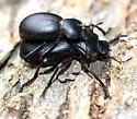 Eleodes?  - Coelocnemis - male - female