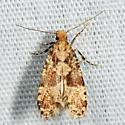 moth - Scardiella approximatella