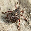 weevil - Rhinoncus pericarpius