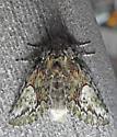 7990 – Heterocampa umbrata – White-blotched Heterocampa - Heterocampa umbrata