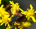 another wasp - Cerceris blakei - male