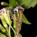 Caterpillar - Condica albigera