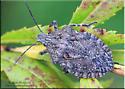 Pentatomomorpha sp - Brochymena quadripustulata