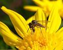 Bombyliidae, perhaps - Geron