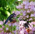 wasp sp. - Scolia dubia - female