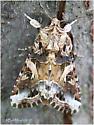 Yellow Striped Armyworm Moth - Spodoptera ornithogalli