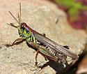 Nicely coloured male specimen - Melanoplus femurrubrum - male