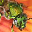 Green Sweat Bee - Augochloropsis - female