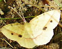 Thin-Lined Erastria moth - Erastria cruentaria