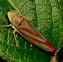 Red-banded (or Candy-striped) leafhopper (Graphocephala coccinea).  - Graphocephala