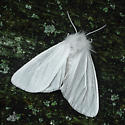 Spilosoma latipennis