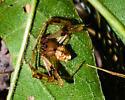 Sculptured Crab Spider? - Verrucosa arenata - male