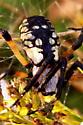 Black-and-yellow Argiope & Egg Case - Argiope aurantia - female