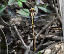 Southern Snaketail (Ophiogomphus australis) ??? - Ophiogomphus australis - male