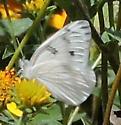 Arizona Butterfly - Pontia protodice