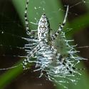 A garden spider ? - Argiope aurantia