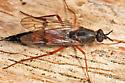 Xylophagus sp.? - Xylophagus cinctus