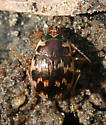 small stream beetle - Omophron ovale