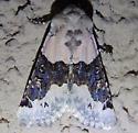 Owlet moth - Triocnemis saporis