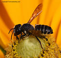 Bee - Megachile pugnata - female