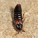 rove beetle - Aleochara
