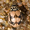 Ladybug - Mulsantina picta