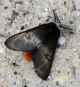 Buck Moth B - Hemileuca maia