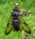 Elm Sawfly - Cimbex americanus - female
