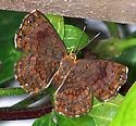 Calephelis rawsoni - female