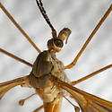 Tipulomorpha - Crane Flies - Angarotipula illustris