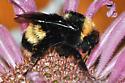 Bombus on Monarda 2 10Aug1995 - Bombus occidentalis