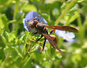 Which polistes, pleasetes? - Polistes dorsalis - female